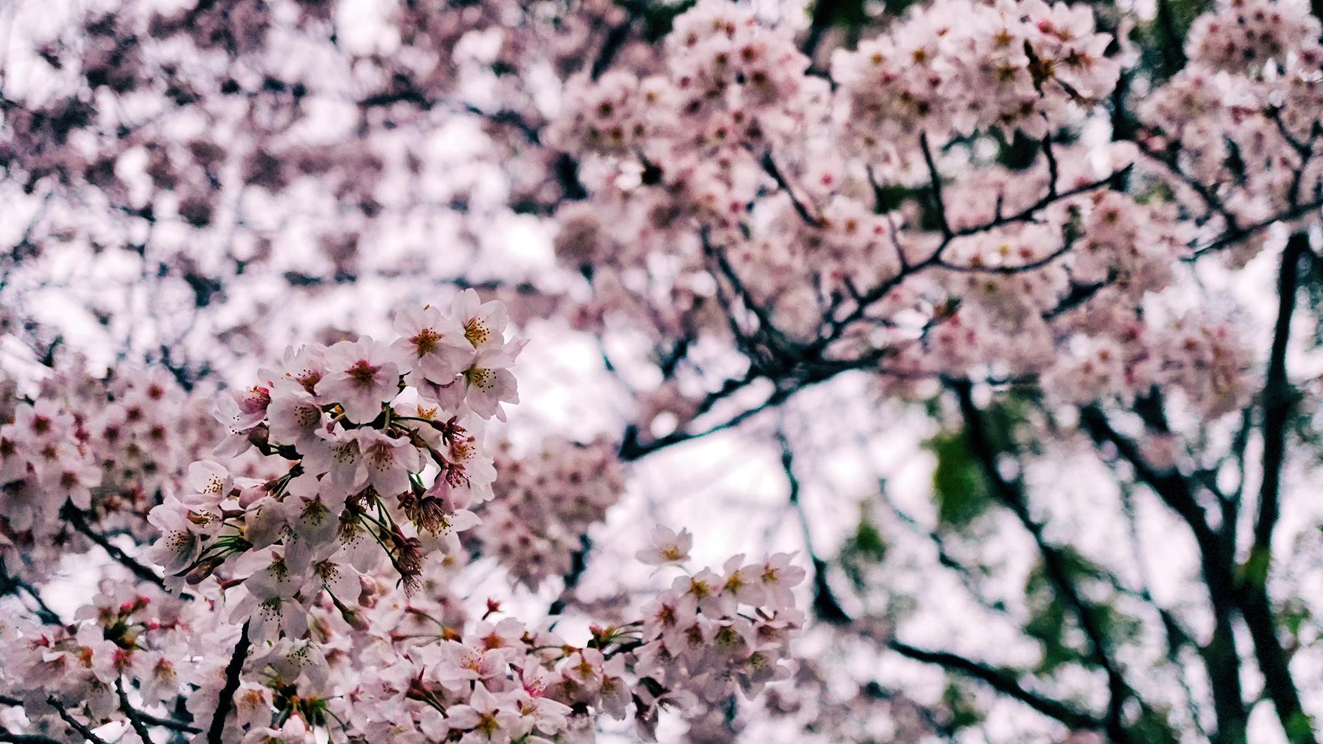 29 марта 2020. Сакура